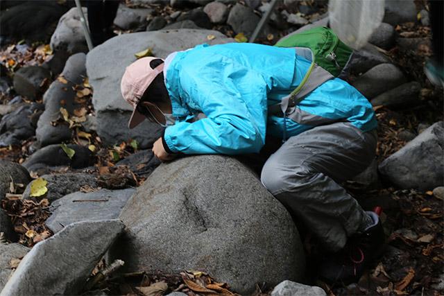 石をひっくり返し、ガロアムシを探します。