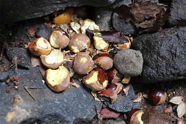 ある石をどかしたら、大量の食べかけた栃の実を発見! ネズミが集めた?