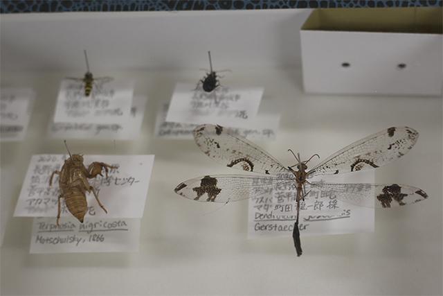 作製した標本は、標本箱に並べると自分だけの宝物に。