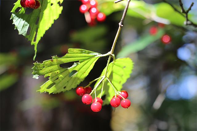 ミヤマガマズミ。先月の季節のたよりにも書きましたが、今年は菅平周辺でガマズミ属の果実がひときわ目立つ気がします。オオカメノキ、カンボク、ゴマギなど。他の地域ではどうなのでしょう?