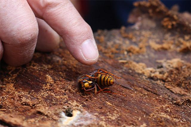 樹皮を剥がしたら、キイロスズメバチの女王を発見! こちら、生きています